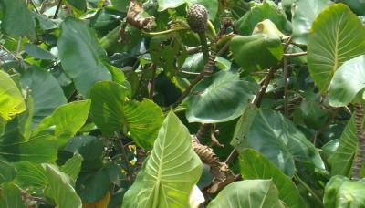 ENMA-montrichardia-linifera.png
