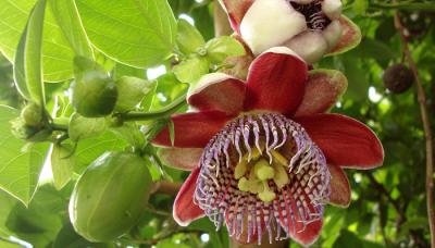 ENMA-passiflora-alata.png