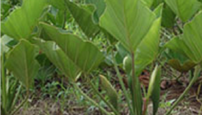 ENMA-philodendron-brasiliense.png
